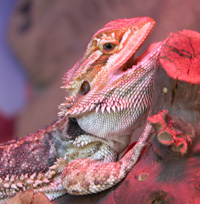 bearded dragon cooling down with mouth open